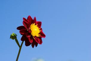 ダリアの花と空の写真素材 [FYI00094636]