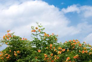 ノウゼンカズラの花と空の写真素材 [FYI00094652]