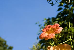 ノウゼンカズラの花と空の写真素材 [FYI00094655]