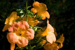 ノウゼンカズラの花の写真素材 [FYI00094656]