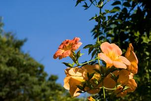 ノウゼンカズラの花と空の写真素材 [FYI00094671]