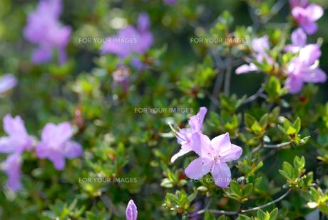霧島のミヤマキリシマの花の素材 [FYI00094684]