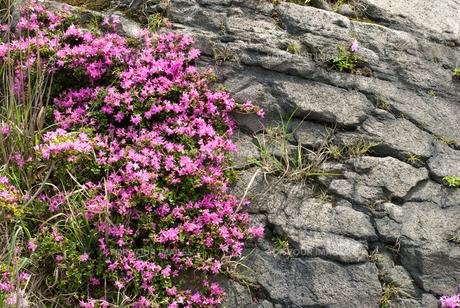 霧島のミヤマキリシマの花の素材 [FYI00094702]