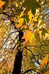 モミジバフウの紅葉の写真素材 [FYI00094741]