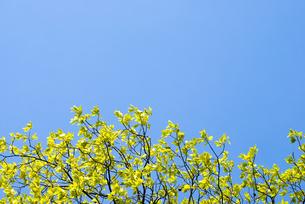 新緑のカキノキの葉と空の写真素材 [FYI00094780]