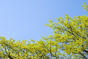 新緑のカキノキの葉と空の写真素材 [FYI00094789]