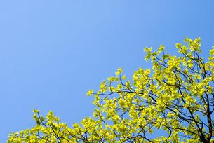 新緑のカキノキの葉と空の写真素材 [FYI00094790]
