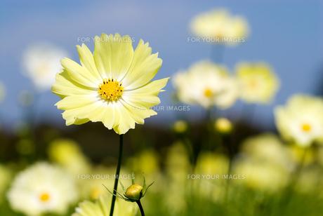 黄色いコスモスのお花畑の写真素材 [FYI00094869]