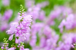 ハナトラノオのお花畑の素材 [FYI00094940]