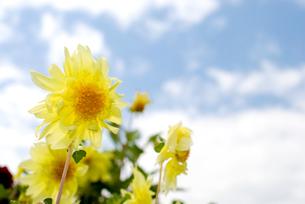 ダリアの花と空の写真素材 [FYI00094952]