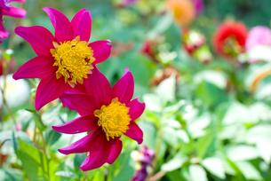 ダリアの花の写真素材 [FYI00094953]