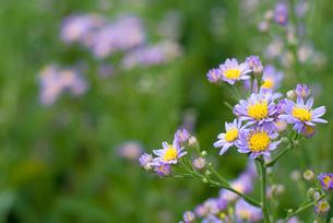 シオンの花の写真素材 [FYI00094959]