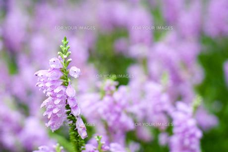ハナトラノオのお花畑の素材 [FYI00094962]