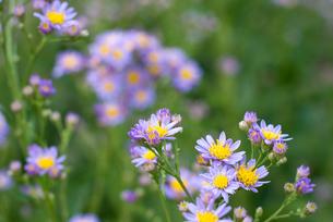 シオンの花の写真素材 [FYI00094969]