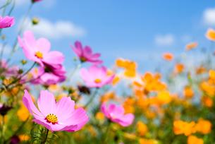 コスモスのお花畑と空の写真素材 [FYI00094996]