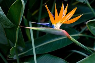 極楽鳥花の花の写真素材 [FYI00095258]