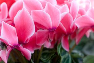 シクラメンの花の写真素材 [FYI00095383]