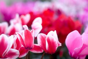 シクラメンの花の写真素材 [FYI00095385]