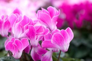 シクラメンの花の写真素材 [FYI00095388]