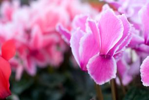 シクラメンの花の写真素材 [FYI00095389]