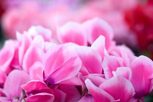 シクラメンの花の写真素材 [FYI00095390]