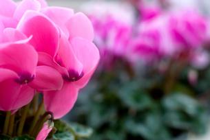 シクラメンの花の写真素材 [FYI00095391]