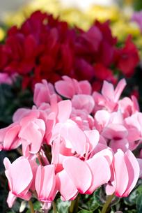 シクラメンの花の写真素材 [FYI00095392]