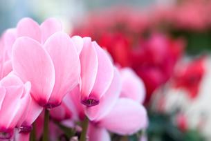 シクラメンの花の写真素材 [FYI00095393]