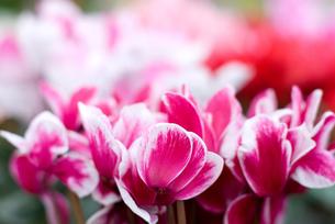 シクラメンの花の写真素材 [FYI00095394]