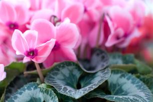 シクラメンの花の写真素材 [FYI00095395]