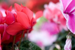 シクラメンの花の写真素材 [FYI00095398]