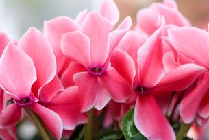 シクラメンの花の写真素材 [FYI00095399]
