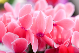 シクラメンの花の写真素材 [FYI00095401]
