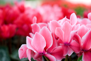 シクラメンの花の写真素材 [FYI00095402]