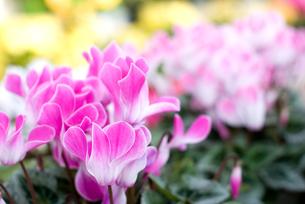 シクラメンの花の写真素材 [FYI00095403]