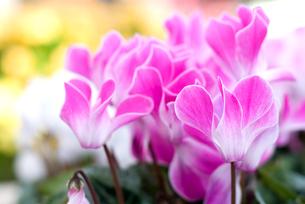 シクラメンの花の写真素材 [FYI00095404]
