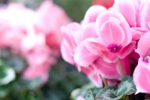 シクラメンの花の写真素材 [FYI00095409]