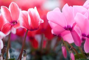 シクラメンの花の写真素材 [FYI00095411]