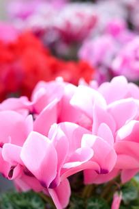 シクラメンの花の写真素材 [FYI00095413]