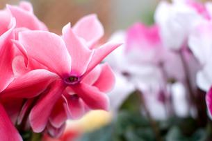 シクラメンの花の写真素材 [FYI00095425]