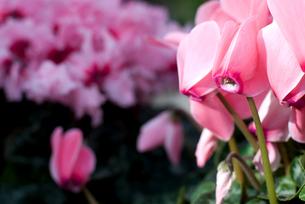 シクラメンの花の写真素材 [FYI00095429]