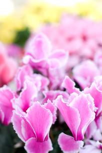 シクラメンの花の写真素材 [FYI00095436]
