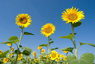 ヒマワリの花と青空の写真素材 [FYI00095469]
