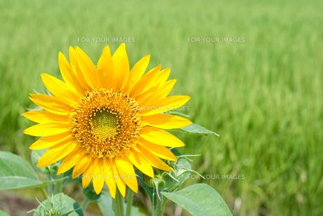 田の脇に咲くヒマワリの写真素材 [FYI00095471]