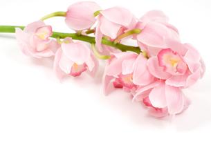 洋蘭の花の写真素材 [FYI00095543]