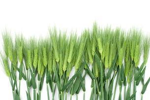 六条大麦の穂の写真素材 [FYI00095675]