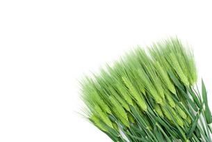 六条大麦の穂の写真素材 [FYI00095689]
