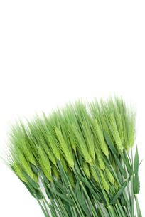 六条大麦の穂の写真素材 [FYI00095690]