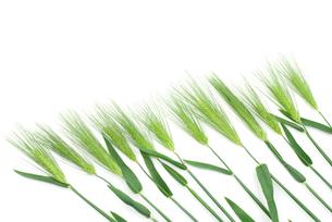 六条大麦の穂の写真素材 [FYI00095709]