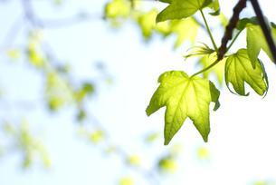 モミジバフウの新緑と空の写真素材 [FYI00095820]
